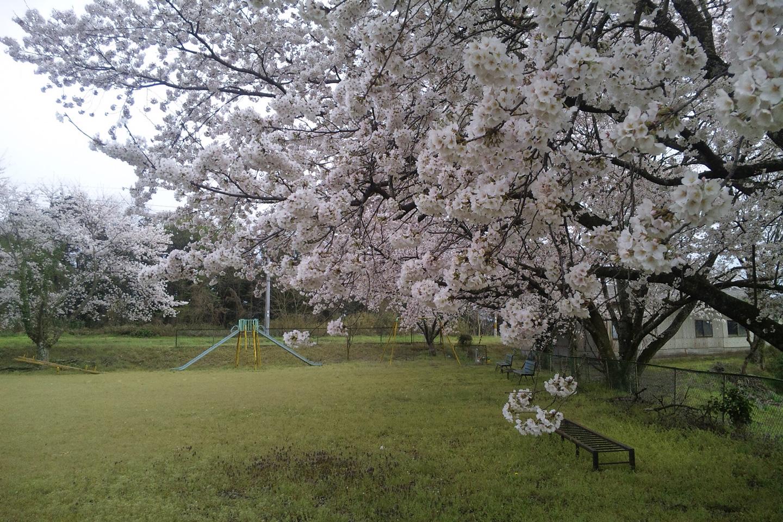 印地の公園の桜