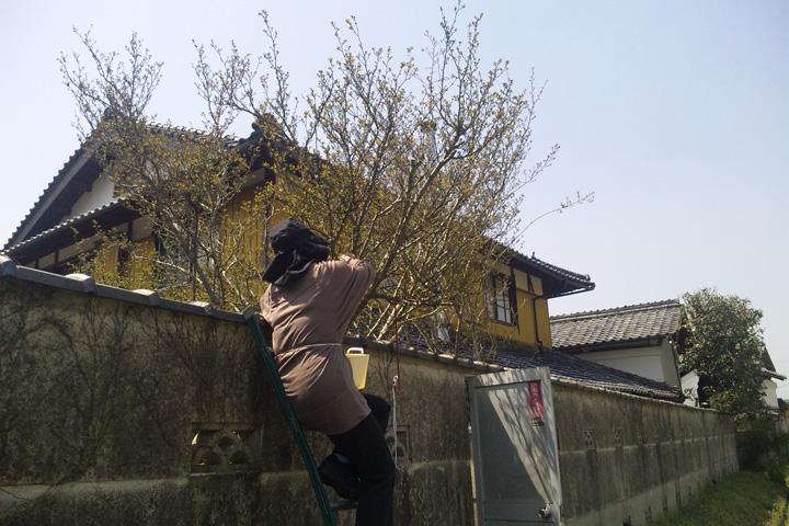 山椒の花摘み