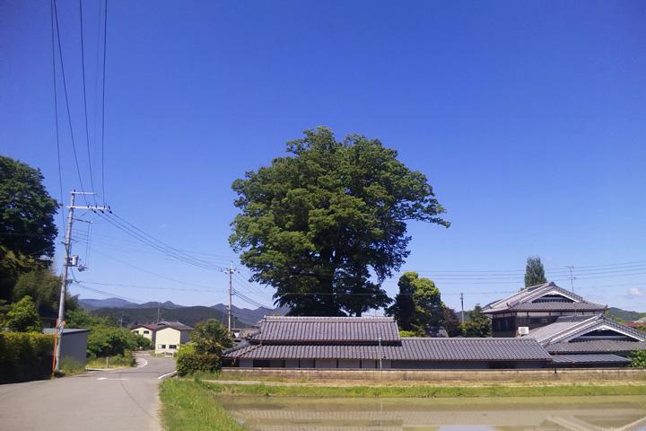 梅田神社の新緑のケヤキ