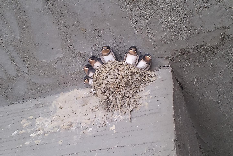 巣立ち間近のツバメの子ども達