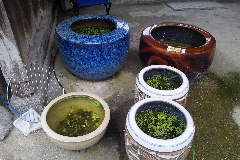メダカの水槽になっている火鉢
