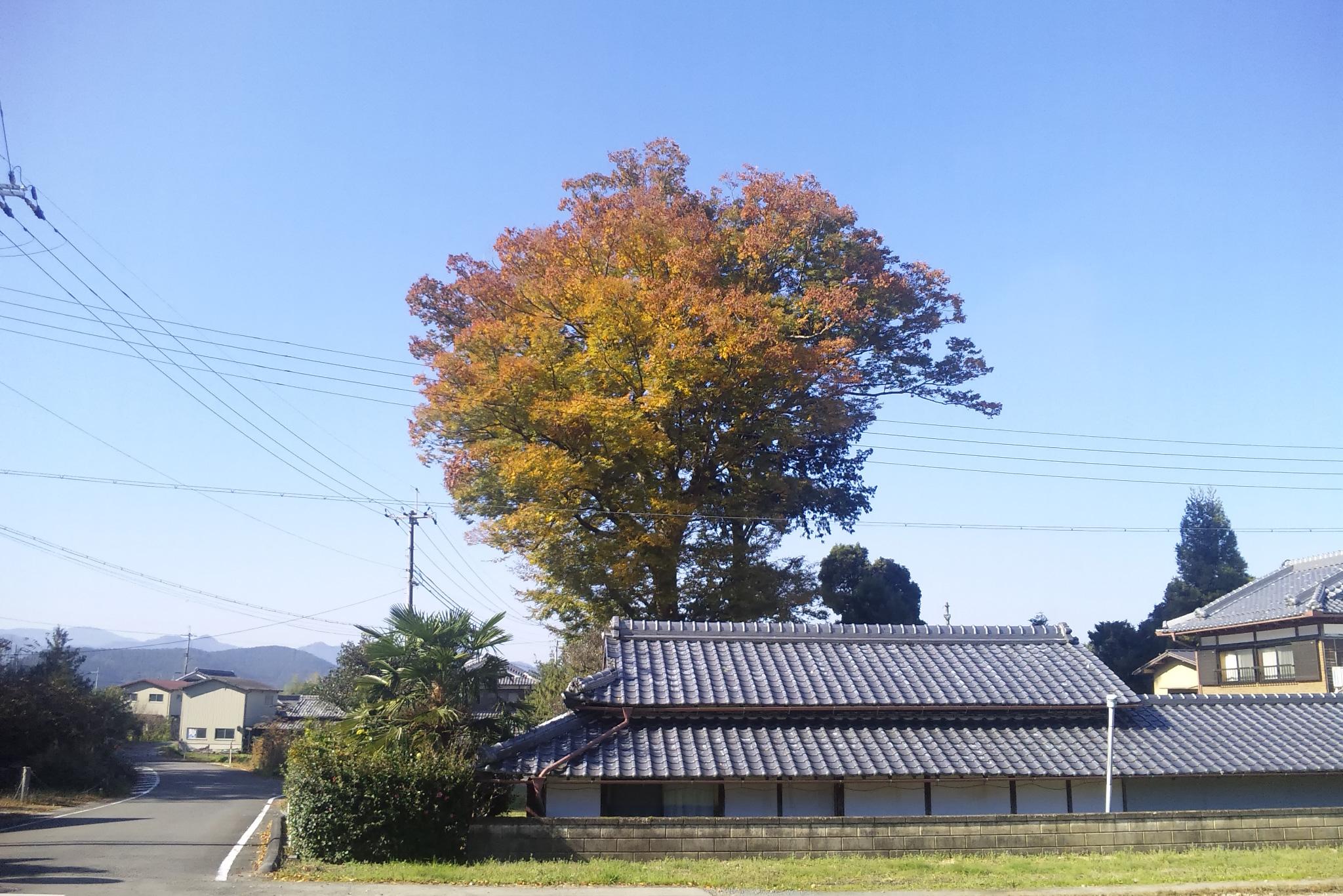 2017年11月梅田神社のケヤキ