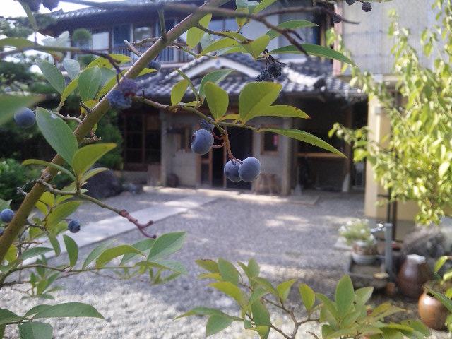 ゲストハウス藤原邸前庭に実ったブルーベリー